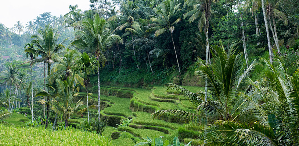 Beautiful rice fields of Bali