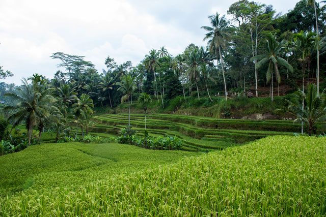 Ayurveda resort surrounded by rice fields